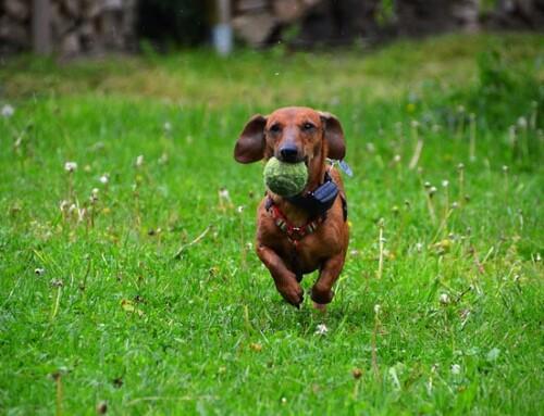 Comportamientos innatos en los perros